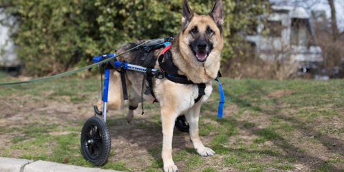 Canine Special Needs